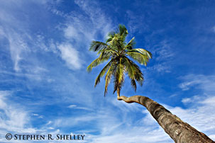 Carribean Palm Tree